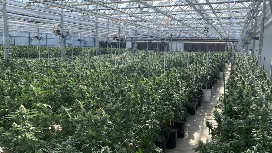 cannabis green house summer guide for growing cannabis